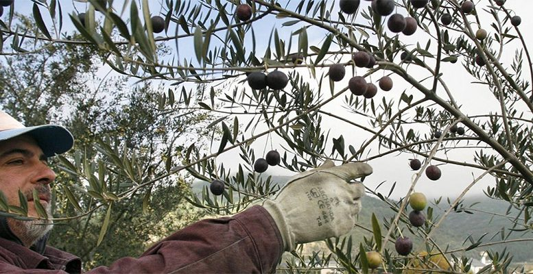 Black Spanish olives could lose practically the entire US market