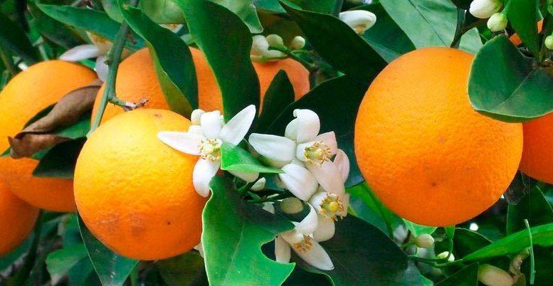 naranjas azaharok